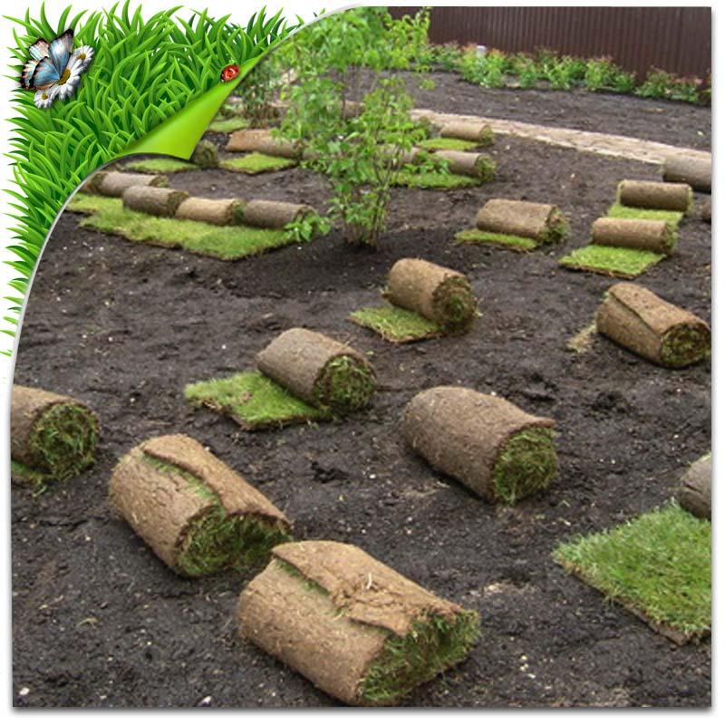 Технологии выращивания рулонного газона 56
